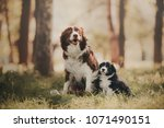 Stock photo boder collie puppy is sitting with mom 1071490151