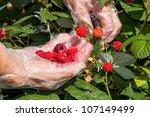 Hand in glove transparent picking of raspberries - stock photo