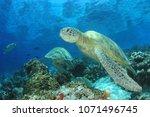green sea turtles  | Shutterstock . vector #1071496745