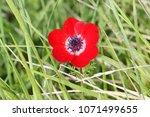 wild red crown anemone flower... | Shutterstock . vector #1071499655