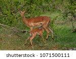 impala lamb suckling from mother | Shutterstock . vector #1071500111