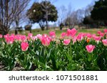 tulips in garden against a... | Shutterstock . vector #1071501881