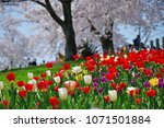 tulips in garden against a... | Shutterstock . vector #1071501884