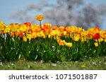 tulips in garden against a... | Shutterstock . vector #1071501887