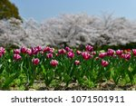 tulips in garden against a... | Shutterstock . vector #1071501911
