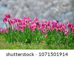 tulips in garden against a... | Shutterstock . vector #1071501914