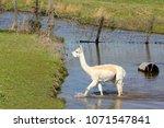 white alpaca in water  ... | Shutterstock . vector #1071547841