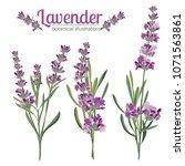 lavender flower on white... | Shutterstock .eps vector #1071563861