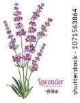 lavender flower on white... | Shutterstock .eps vector #1071563864