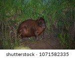 capybara in wildlife in brazil   Shutterstock . vector #1071582335