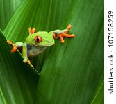 red eyed tree frog crawling... | Shutterstock . vector #107158259