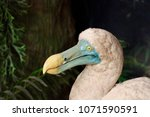 Stock photo the dodo raphus cucullatus is an extinct flightless bird that was endemic to the island of 1071590591