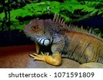 the  iguana  iguana iguana  is... | Shutterstock . vector #1071591809