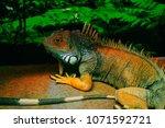 the  iguana  iguana iguana  is... | Shutterstock . vector #1071592721