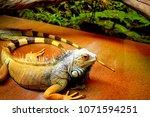 the  iguana  iguana iguana  is... | Shutterstock . vector #1071594251