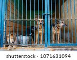 cage for dogs in animal shelter | Shutterstock . vector #1071631094