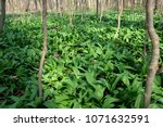 the wild garlic | Shutterstock . vector #1071632591