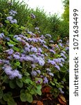 Small photo of Flossflower (Ageratum houstonianum) in garden, Moscow region, Russia