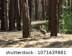 Stock photo wild gray hare jumps in a coniferous forest 1071639881