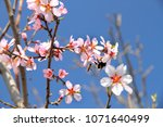 bees collect nectar from pink... | Shutterstock . vector #1071640499