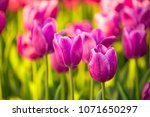 tulips blossoming field of... | Shutterstock . vector #1071650297