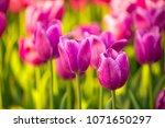 tulips blossoming field of... | Shutterstock . vector #1071650297
