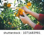 oranges in our garden | Shutterstock . vector #1071683981