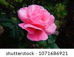 beautiful single  alone  pink...   Shutterstock . vector #1071686921