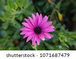 single african daisy flower...   Shutterstock . vector #1071687479