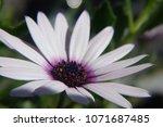 white african daisy flower ...   Shutterstock . vector #1071687485
