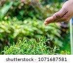 hands of farmer growing and... | Shutterstock . vector #1071687581