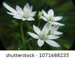 white jasmine flowers in garden.   Shutterstock . vector #1071688235