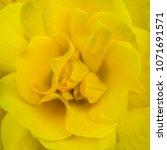 yellow rose flower detailed...   Shutterstock . vector #1071691571
