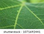 detailed macro leaf vein...   Shutterstock . vector #1071692441
