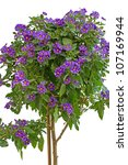Lycianthes Rantonnetii Or Blue...