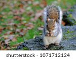 Grey Squirrel Eating A Nut On ...