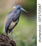 tricolored heron in florida | Shutterstock . vector #1071715367