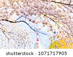 view of the cherry blossoms in... | Shutterstock . vector #1071717905