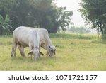 cow  brahman breeders  american ... | Shutterstock . vector #1071721157