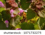 bee on a pink flower collecting ... | Shutterstock . vector #1071732275