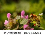bee on a pink flower collecting ... | Shutterstock . vector #1071732281