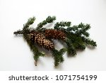 Conifer Tree Branch With Moss...
