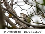 changeable juvenile hawk eagle | Shutterstock . vector #1071761609