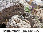 small lizard on the stone | Shutterstock . vector #1071803627