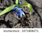 bee collects honey nectar on... | Shutterstock . vector #1071808271