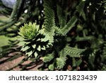 Small photo of Abies lasiocarpa - subalpine fir - is a western North American fir tree, closeup with dark green background