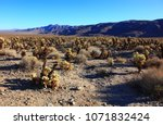 Jumping Cholla Cactus Field In...