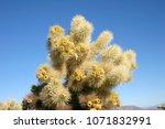 Cholla Cactus Garden In Joshua...