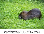 adult beaver eating a plant.... | Shutterstock . vector #1071877931