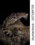 common genet  genetta genetta ...   Shutterstock . vector #107189735